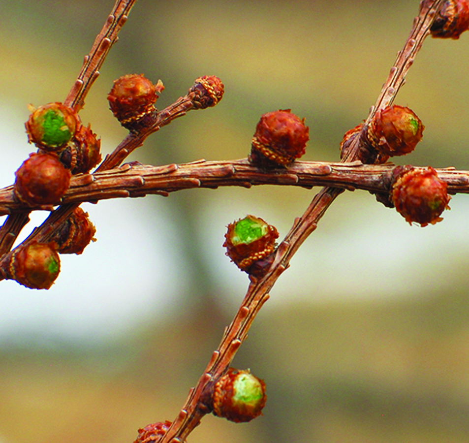 Pollen cones initiated: Larix laricina. Photo credit: Ellen G. Denny