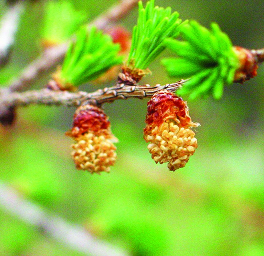 Open pollen cones: Larix laricina. Photo credit: Ellen G. Denny