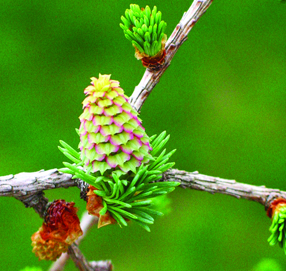Open unripe seed cones receiving pollen: Larix laricina. Photo credit: Ellen G. Denny
