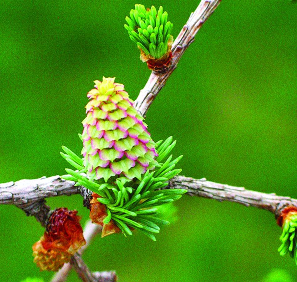 Open unripe seed cones receiving pollen: Larix laricina. Photo credit: Ellen G. Denny