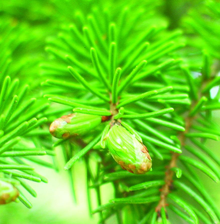 Breaking needle buds: Picea rubens. Photo credit: Ellen G. Denny