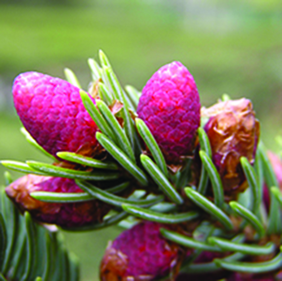 Pollen cones: Picea pungens. Photo credit: Beentree via Wikimedia Commons, Creative Commons Attribution-ShareAlike 3.0 Unported (CC BY-SA 3.0) License, https://creativecommons.org/licenses/by-sa/3.0/deed.en