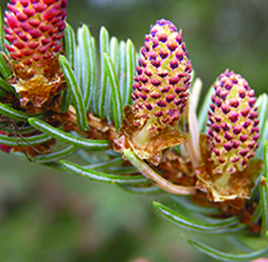 Open pollen cones: Picea pungens. Photo credit: Beentree via Wikimedia Commons, Creative Commons Attribution-ShareAlike 3.0 Unported (CC BY-SA 3.0) License, https://creativecommons.org/licenses/by-sa/3.0/deed.en