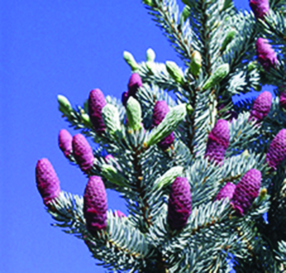 Unripe seed cones: Picea pungens. Photo credit: US FWS photo via Wikimedia Commons, Public domain.