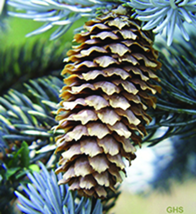 Ripe seed cones: Picea pungens. US FWS photo via Wikimedia Commons, Public domain.