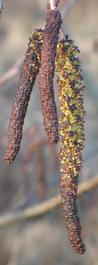 Opening male flowers (catkins)