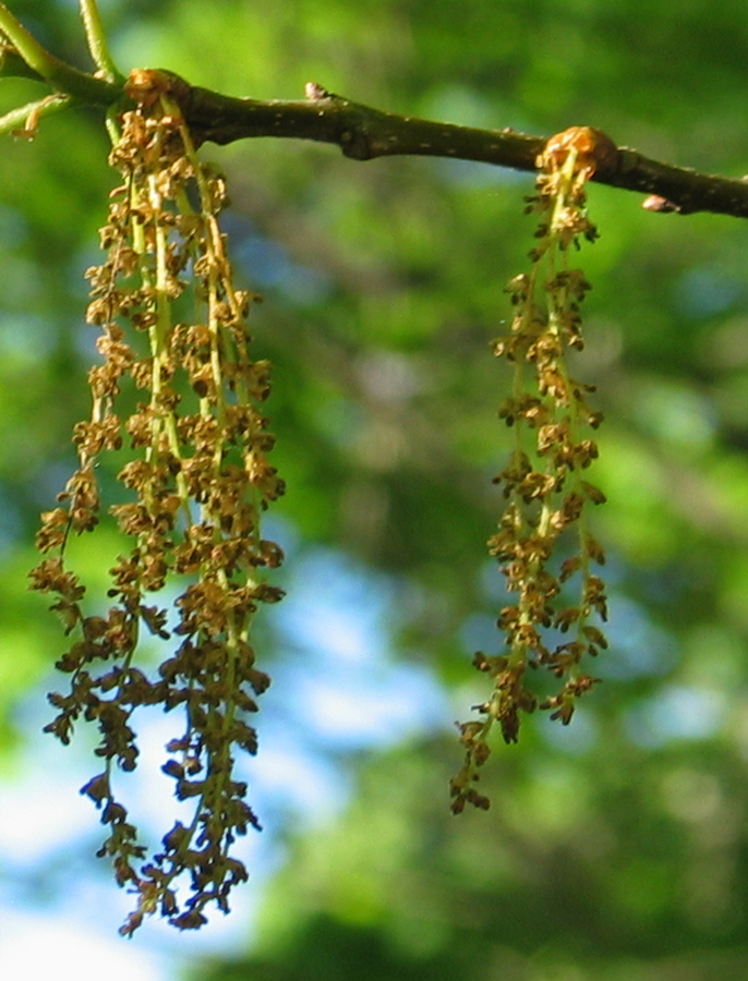 Spent male flowers (catkins)