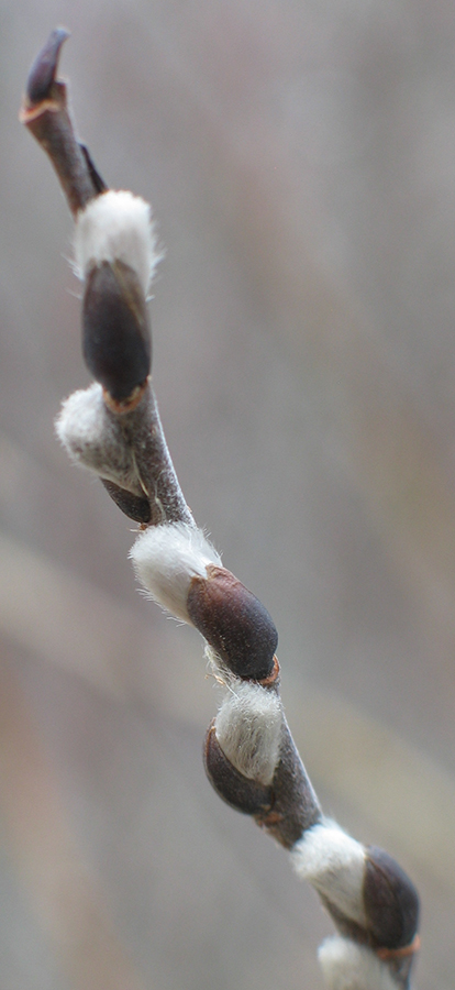 Willow - dormant flower buds (catkins)