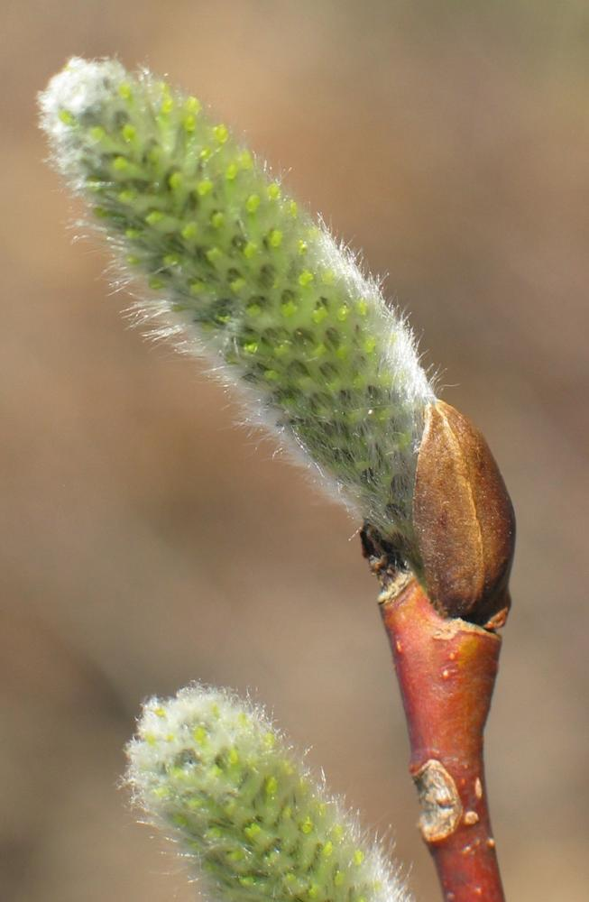 Willow - developing flower buds (catkins)