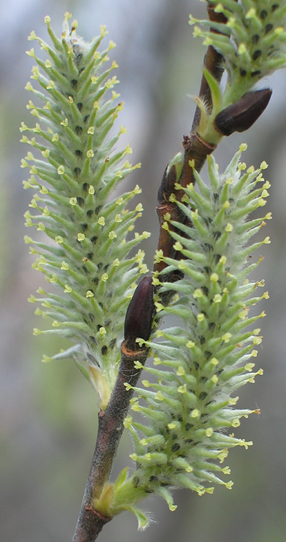 Willow - open flower (catkins)