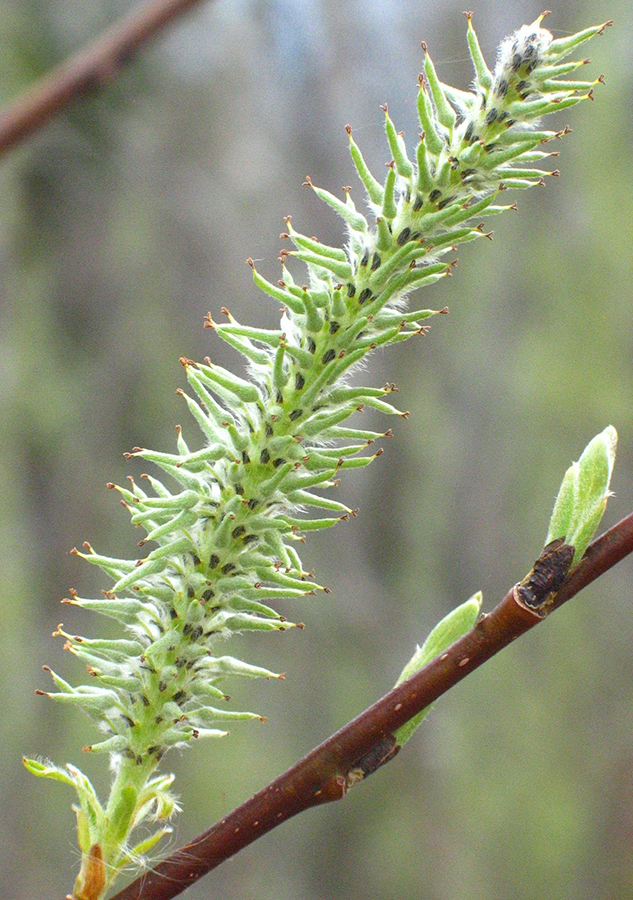 Willow - flowers spent, fruit initiating (catkins)