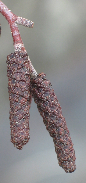 Dormant male flowers (catkins)