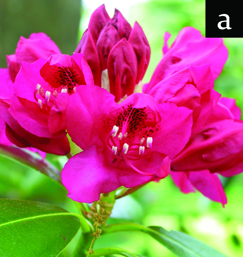 rhododendron - open flowers