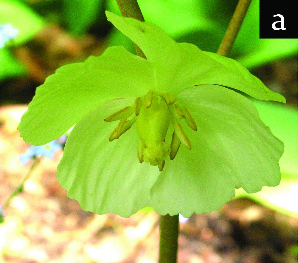 mayapple - open flower (with superior ovary)