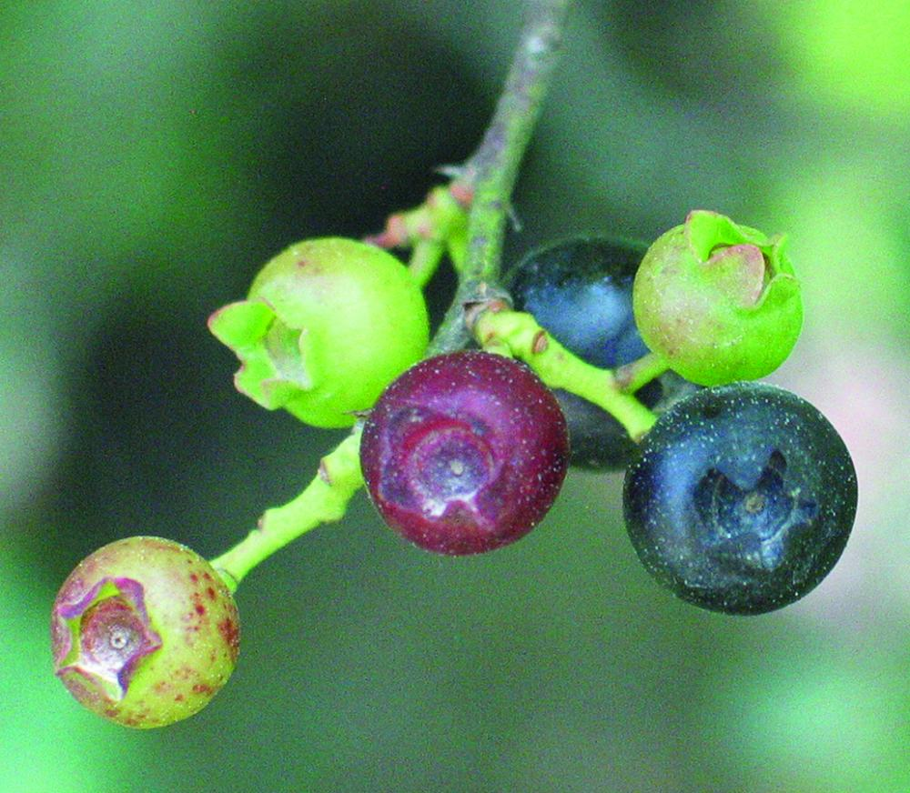 highbush blueberries in all stages of fruit development