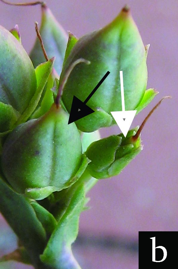 penstemon flower's ovaries beginning fruit development