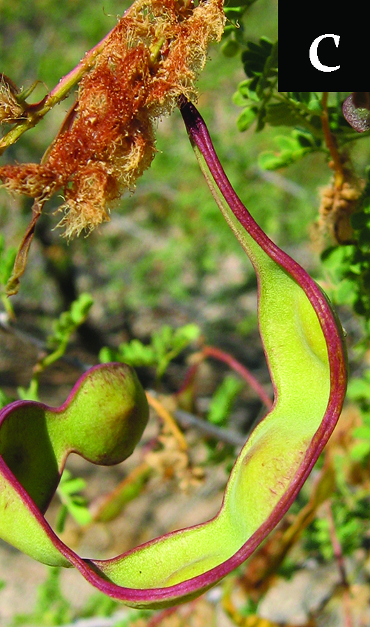 acacia with continuing fruit development