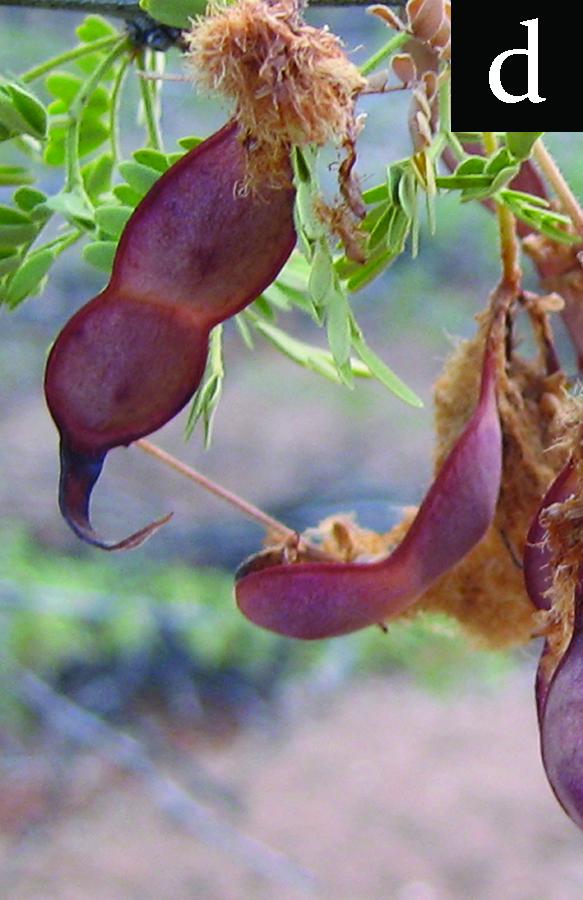 acacia fruit near to ripening