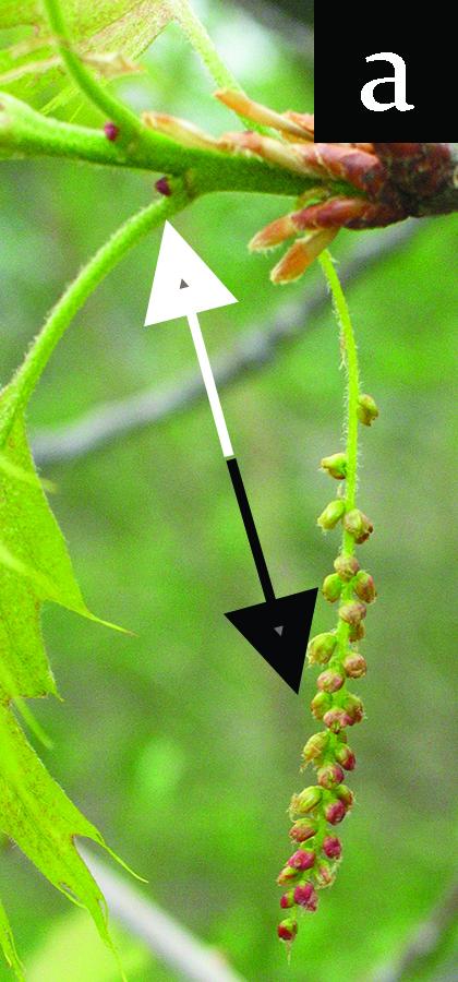oak flowers, male and female, in development