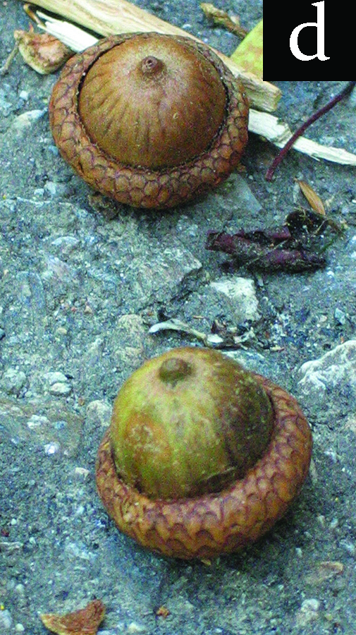 oak fruit (acorns) ripened, and dropped from plant