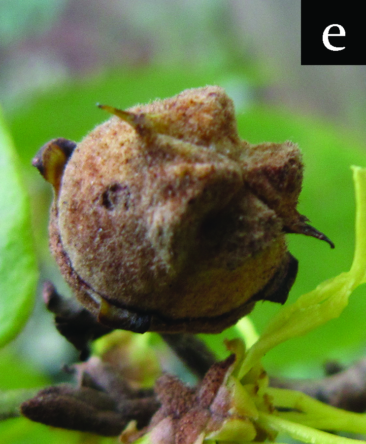 witchhazel fruit near ripening