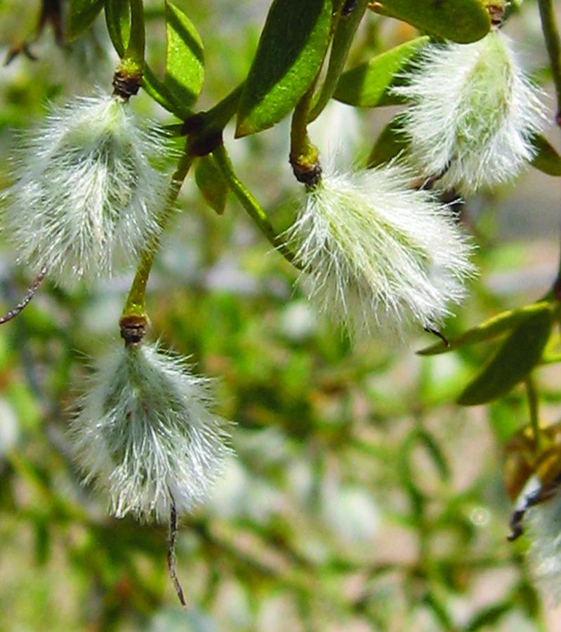 acacia fruit close to ripening