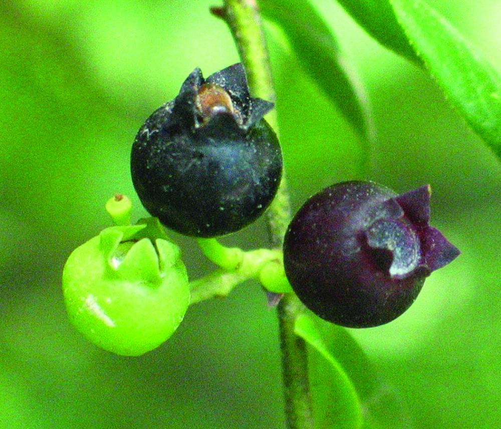 highbush blueberry ripened fruit, differing from ripened description