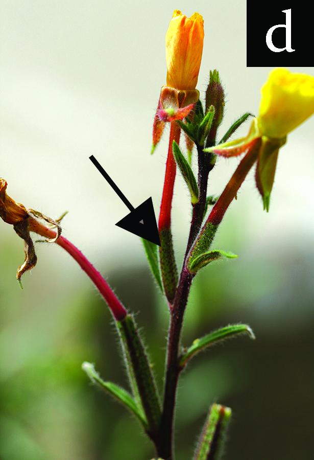 evening primrose flower's pistil with inferior ovary