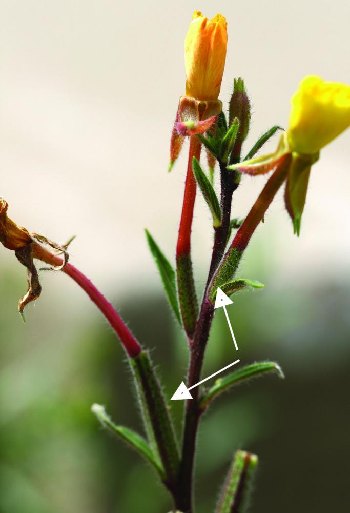 evening primrose flower stalk with developing fruit