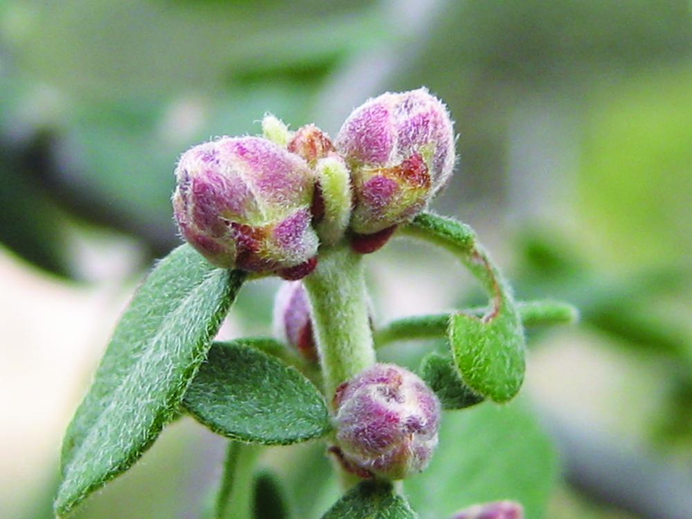 Ceanothus with new leaves and dormant flower buds