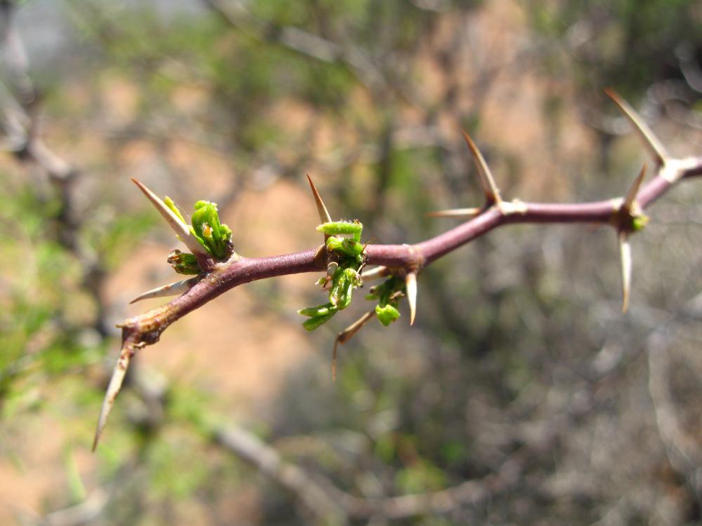 Photo: Michelle Mattocks, young leaves, honey mesquite