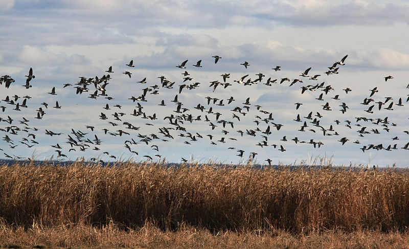 Barnacle Geese, Photo: Aleksander Kaasik, Wikimedia commons