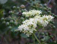Photo: Sambucus nigra, Liz Matthews