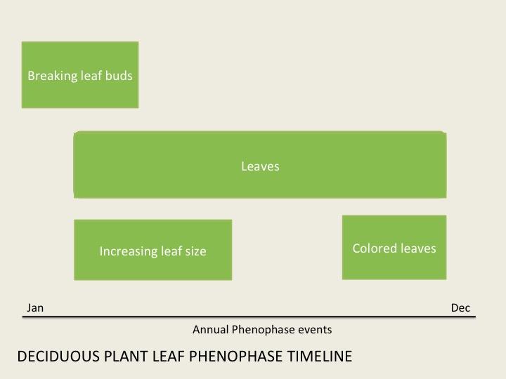 Leaf phenophase overlap