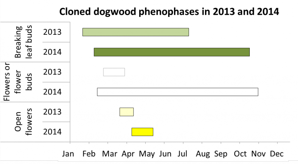 Cloned dogwood phenophases 2013 and 2014