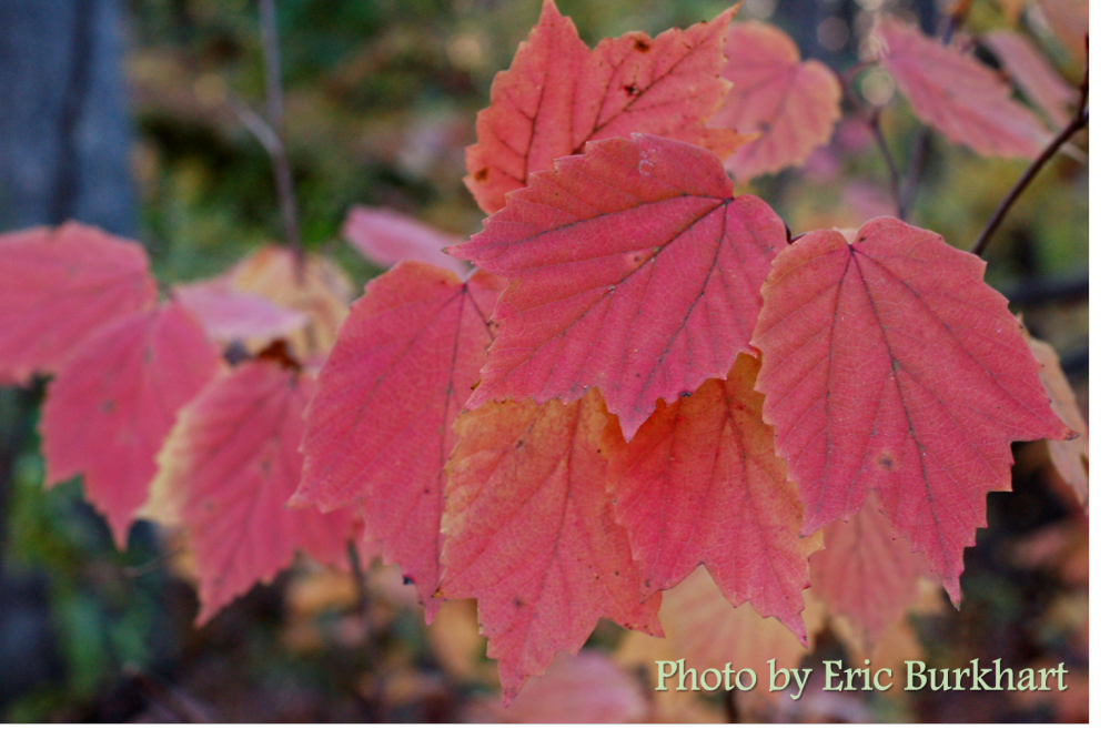 mapleleaf viburnum_Viburnum acerifolium_colored leaves