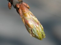 oak breaking leaf bud