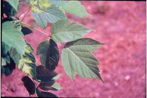 Photo for species Acer_negundo