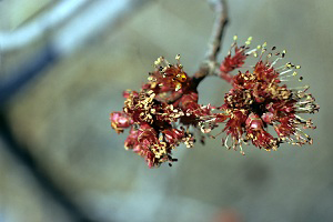 Photo for species Acer_rubrum