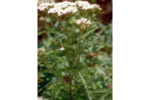 Photo for species Achillea_millefolium