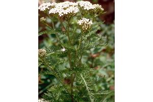 Photo for species Achillea_millefolium