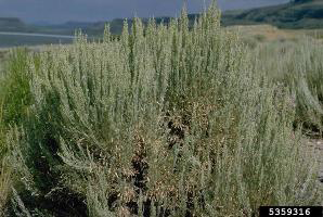 Photo for species Artemisia_tridentata