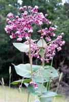 Photo for species Asclepias_cordifolia