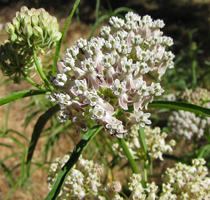 Photo for species Asclepias_fascicularis