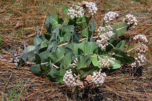 Photo for species Asclepias_humistrata