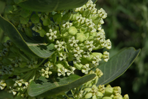 Photo for species Asclepias_latifolia