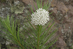 Photo for species Asclepias_linaria