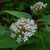 Photo for species Asclepias_perennis