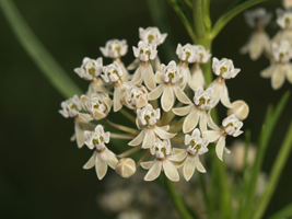 Photo for species Asclepias_subverticillata