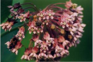 Photo for species Asclepias_syriaca